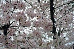 Άσπρα δέντρα λουλουδιών Sakura/άνθος κερασιών, Ιαπωνία στοκ εικόνες