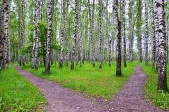 Άσπρα δέντρα σημύδων στο δάσος το καλοκαίρι, πράσινη χλόη Στοκ Φωτογραφίες