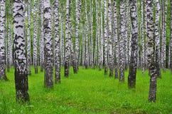 Άσπρα δέντρα σημύδων στο δάσος το καλοκαίρι, πράσινη χλόη Στοκ Φωτογραφία