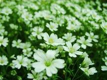Άσπρα δασικά λουλούδια που ανθίζουν την άνοιξη Αφηρημένο εποχιακό υπόβαθρο άνοιξη με τα άσπρα λουλούδια, floral εικόνα Πάσχας με  Στοκ φωτογραφίες με δικαίωμα ελεύθερης χρήσης