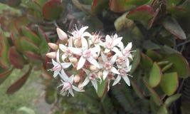 Άσπρα εξωτικά λουλούδια από τον Ισημερινό Στοκ φωτογραφίες με δικαίωμα ελεύθερης χρήσης