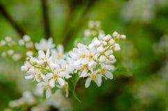Άσπρα ευώδη λουλούδια του δέντρου κερασιών πουλιών Στοκ Φωτογραφίες
