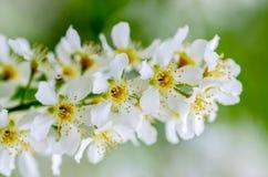Άσπρα ευώδη λουλούδια του δέντρου κερασιών πουλιών Στοκ Φωτογραφία