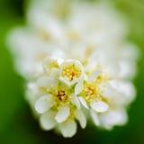 Άσπρα ευώδη λουλούδια του δέντρου κερασιών πουλιών Στοκ εικόνα με δικαίωμα ελεύθερης χρήσης