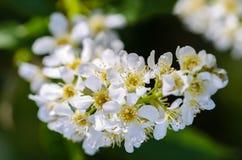 Άσπρα ευώδη λουλούδια του δέντρου κερασιών πουλιών Στοκ Εικόνα