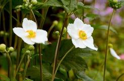 Άσπρα ιαπωνικά λουλούδια anemone Στοκ Εικόνες