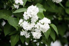 Άσπρα ιώδη λουλούδια σε ένα υπόβαθρο των πράσινων φύλλων στοκ φωτογραφίες