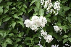 Άσπρα ιώδη λουλούδια σε ένα υπόβαθρο των πράσινων φύλλων στοκ εικόνες