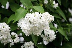 Άσπρα ιώδη λουλούδια σε ένα υπόβαθρο των πράσινων φύλλων στοκ φωτογραφία
