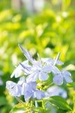 Άσπρα ιώδη λουλούδια στον κήπο Στοκ φωτογραφία με δικαίωμα ελεύθερης χρήσης