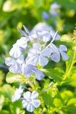 Άσπρα ιώδη λουλούδια στον κήπο Στοκ εικόνες με δικαίωμα ελεύθερης χρήσης