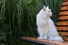 Άσπρα καθίσματα γατών του Μαίην Coon στον πάγκο Στοκ Φωτογραφία