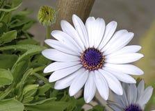 Άσπρα και ιώδη Daisy-όπως λουλούδια άνοιξη Στοκ Εικόνα