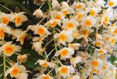 Άσπρα και κίτρινα λουλούδια ορχιδεών με το πράσινο φύλλο Στοκ Φωτογραφίες