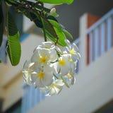Άσπρα και κίτρινα λουλούδια frangipani plumeria Στοκ Φωτογραφία