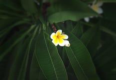 Άσπρα και κίτρινα λουλούδια plumeria με το πράσινο υπόβαθρο φύλλων Στοκ φωτογραφία με δικαίωμα ελεύθερης χρήσης