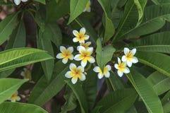 Άσπρα και κίτρινα λουλούδια plumeria με το πράσινο υπόβαθρο φύλλων Στοκ εικόνες με δικαίωμα ελεύθερης χρήσης