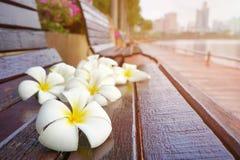 Άσπρα και κίτρινα λουλούδια plumeria στην παλαιά ξύλινη καρέκλα Στοκ φωτογραφία με δικαίωμα ελεύθερης χρήσης