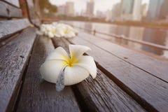 Άσπρα και κίτρινα λουλούδια plumeria στην παλαιά ξύλινη καρέκλα Στοκ Φωτογραφίες