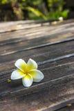 Λουλούδια Frangipani με το ξύλο στο υπόβαθρο. Στοκ Φωτογραφίες