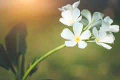 Άσπρα και κίτρινα λουλούδια frangipani plumeria με τα φύλλα Στοκ Εικόνες