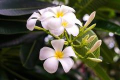 Άσπρα και κίτρινα λουλούδια frangipani plumeria με τα φύλλα Στοκ Φωτογραφίες