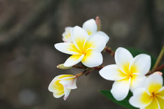 Άσπρα και κίτρινα λουλούδια frangipani plumeria Στοκ Φωτογραφίες