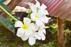 Άσπρα και κίτρινα λουλούδια plumeria στην Ταϊλάνδη Στοκ φωτογραφία με δικαίωμα ελεύθερης χρήσης
