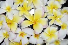 Άσπρα και κίτρινα λουλούδια plumeria στην Ταϊλάνδη Στοκ Εικόνες