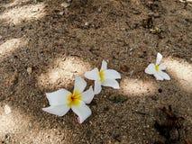 Άσπρα και κίτρινα λουλούδια plumeria στο έδαφος Στοκ Εικόνες