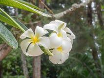 Άσπρα και κίτρινα λουλούδια plumeria Στοκ Φωτογραφίες