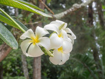 Άσπρα και κίτρινα λουλούδια plumeria Στοκ Εικόνες