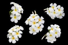Άσπρα και κίτρινα τροπικά λουλούδια, Frangipani, Plumeria που απομονώνεται Στοκ φωτογραφίες με δικαίωμα ελεύθερης χρήσης