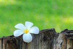 Άσπρα και κίτρινα τροπικά λουλούδια, Frangipani, Plumeria Στοκ Εικόνες