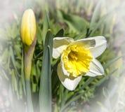 Άσπρα και κίτρινα daffodils σε ένα πάρκο Στοκ φωτογραφία με δικαίωμα ελεύθερης χρήσης