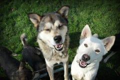 Άσπρα και καφετιά huskies Στοκ φωτογραφία με δικαίωμα ελεύθερης χρήσης