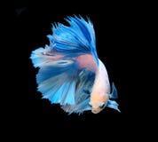 Άσπρα και μπλε σιαμέζα ψάρια πάλης, ψάρια betta που απομονώνονται στο bla Στοκ Εικόνα