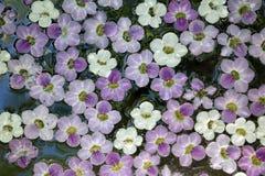 Άσπρα και πορφυρά επιλεγμένα λουλούδια που επιπλέουν στο νερό Στοκ φωτογραφία με δικαίωμα ελεύθερης χρήσης
