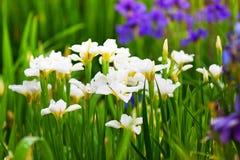 Άσπρα και πορφυρά λεπτά λουλούδια των ίριδων Στοκ φωτογραφίες με δικαίωμα ελεύθερης χρήσης