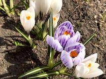 Άσπρα και πορφυρά λουλούδια του κρόκου μια ηλιόλουστη ημέρα στα πλαίσια της γης στοκ φωτογραφία