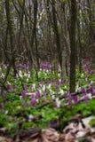 Άσπρα και πορφυρά λουλούδια Hollowroot Στοκ Εικόνες