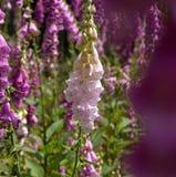 Άσπρα και πορφυρά λουλούδια foxglove Στοκ Εικόνες
