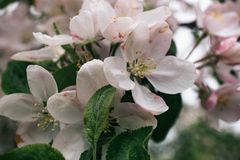 Άσπρα και ρόδινα λουλούδια άνοιξη Άνθος δέντρων της Apple με τα πράσινα φύλλα στις πτώσεις βροχής Στοκ φωτογραφίες με δικαίωμα ελεύθερης χρήσης