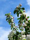 Άσπρα και ρόδινα λουλούδια δέντρων της Apple, μπλε ουρανός και μια μέλισσα Στοκ Εικόνες