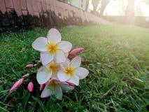 άσπρα και ρόδινα λουλούδια plumeria Στοκ εικόνα με δικαίωμα ελεύθερης χρήσης