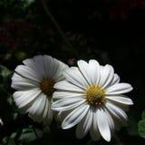 Άσπρα και beuty perennis Bellis στοκ εικόνες με δικαίωμα ελεύθερης χρήσης