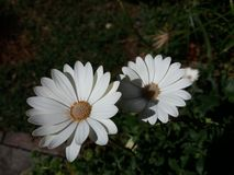 Άσπρα και beuty perennis Bellis στοκ εικόνα με δικαίωμα ελεύθερης χρήσης