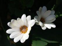 Άσπρα και beuty perennis Bellis στοκ φωτογραφία με δικαίωμα ελεύθερης χρήσης