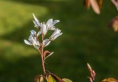 Άσπρα καφετιά φύλλα λουλουδιών Στοκ εικόνες με δικαίωμα ελεύθερης χρήσης