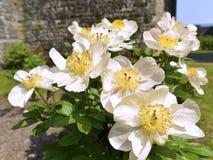Άσπρα κινεζικά λουλούδια peonies Στοκ Εικόνες